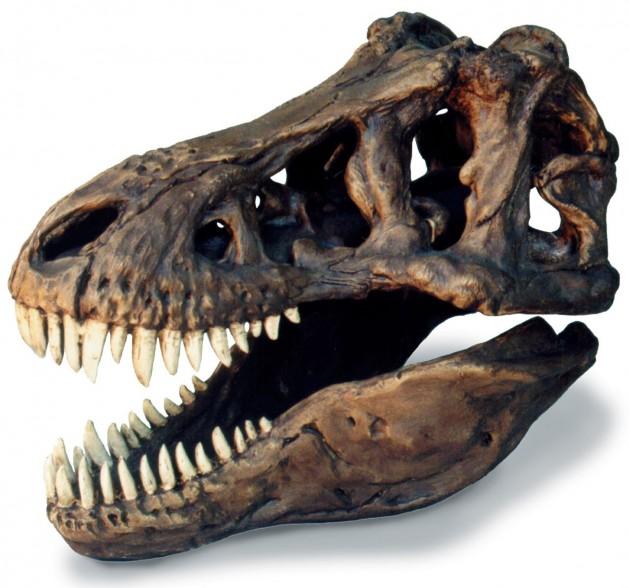 t-rex-skull-large-0239